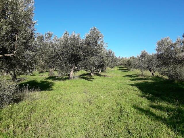 Griekse Olijfgaarden