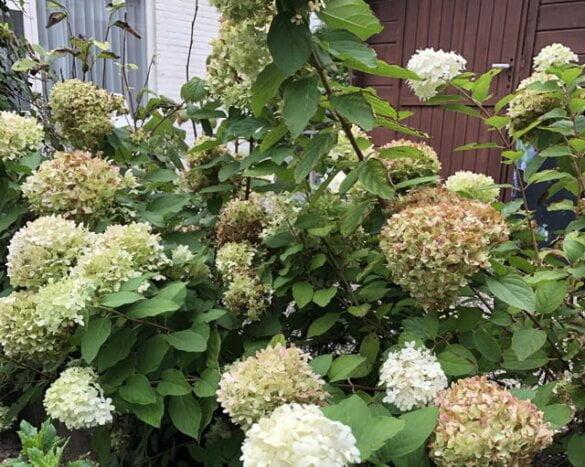 Hortensia,hortensia verzorgen,hortensia kopen