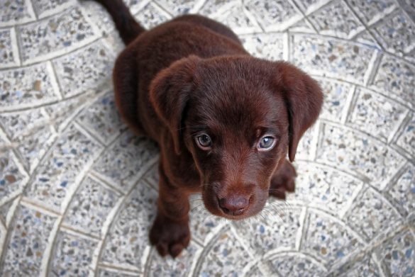 Altijd Een Pup Gewild Adopteer Een Geleidehond Pup,adopteer een pup,pup kopen