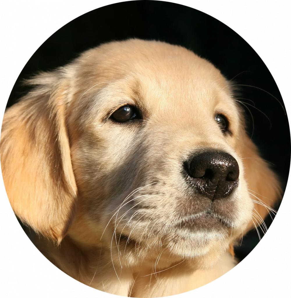 Adopteer een geleidehond pup,zensitivity.nl