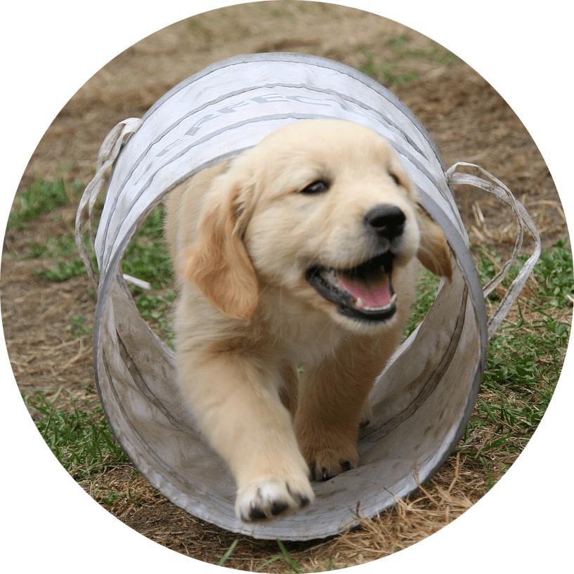geleidehond pup